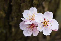 Cherry Blossom. Close up Cherry Blossom in japan Royalty Free Stock Images