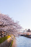 Cherry Blossom. Near river in Japan Royalty Free Stock Photos