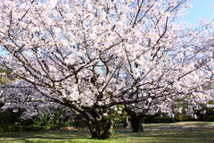 Cherry blossom. A cherry blossom is the flower of the cherry trees known as Sakura Stock Photo