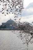 Cherry blossom. The cherry blossom festival in Washington DC Royalty Free Stock Photography