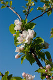 Cherry blossom. Bunches of beautiful cherry blossom royalty free stock photos