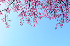 Cherry blossom. With blue sky in Japan stock photos