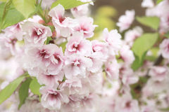 Cherry Blossom. Very shallow depth of field stock image