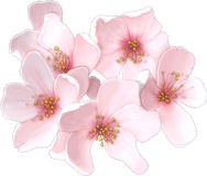 Cherry blossom. Pretty pink cherry blossom flower Stock Images