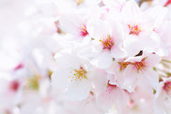 Cherry blossom. In japan on spring Stock Image