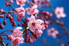 Cherry blossom. Beautiful cherry blossom against a bright blue sky, shallow dof, focus on the center blossom stock photos