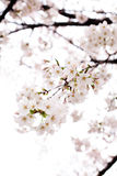Cherry blossom. Closeup of Cherry blossom in Japan Royalty Free Stock Photo
