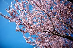 Cherry Blossom. In spring season Royalty Free Stock Photo