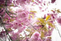 Free Cherry Blossom Royalty Free Stock Photo - 24361805