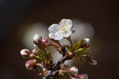 Cherry-blossom Royalty Free Stock Photography