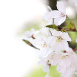 Cherry blossom Stock Image