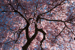 Cherry blossom. High contrast silhouette of cherry tree against blue sky Royalty Free Stock Photos