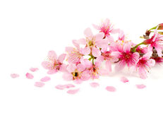 Cherry blossom. Pink sakura flowers isolated on white background Royalty Free Stock Photo