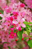 Cherry Blossom. Beautiful pink Cherry blossom of a tree in spring time Royalty Free Stock Photo