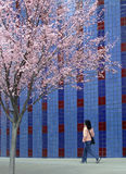 Cherry blossom. A lady walking under a blossom tree stock images