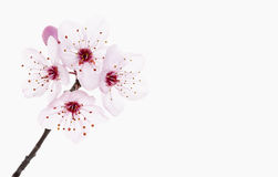 Cherry blossom. Royalty Free Stock Photo
