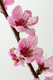 Cherry Blossom 3 Fotografía de archivo libre de regalías