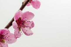 Cherry Blossom 4 Fotos de archivo libres de regalías