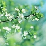 Cherry Blossom Lizenzfreie Stockfotos