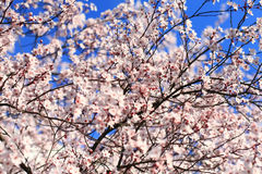 Cherry blossom Royalty Free Stock Image
