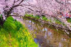 Cherry Blossom Images stock