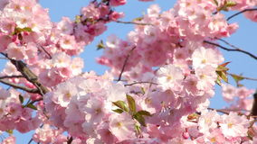 Cherry blossom stock footage