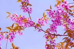 Cherry Blossom stockfotos