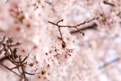 Cherry Blossom. (sakura) in South Korea stock image