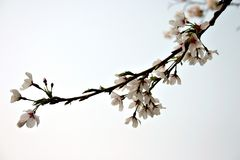 Cherry blossom. In China in spring Royalty Free Stock Photography