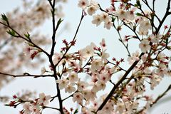 Cherry blossom. In China in spring Stock Photos