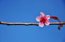 Cherry Blossom Royalty-vrije Stock Afbeeldingen