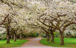 Cherry Blossom Photographie stock
