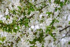Cherry Blossom Imagen de archivo