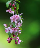 Cherry Blossom Photographie stock libre de droits
