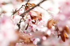 Cherry Blossom Royalty-vrije Stock Fotografie
