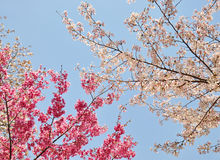 Cherry Blossom Fotografia de Stock Royalty Free
