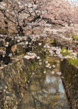 Cherry Blossom Stockbilder