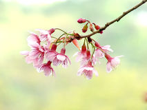 Cherry Blossom Photo stock