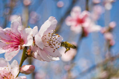 Cherry blossom. Honey bee flying around a cherry blossom in the beginning of spring, California Stock Images