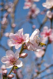 Cherry blossom. A cherry blossom in the spring with a bee, Japan Royalty Free Stock Image