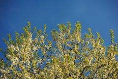 Cherry Blossom Immagini Stock Libere da Diritti
