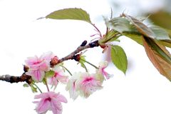 Cherry blossom Royalty Free Stock Images