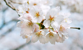 Cherry blossom. Colorful image of spring Royalty Free Stock Photo