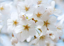 Cherry blossom. Colorful image of spring Stock Photos