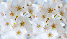 Cherry blossom. Colorful image of spring Stock Photo