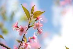 Cherry Blossom Fotografía de archivo