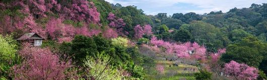 Cherry Blossom Imágenes de archivo libres de regalías