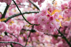 Cherry blossom. Beautiful pink Cherry blossom of a tree in spring time Stock Photo