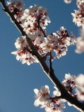 Cherry Blossom Image stock