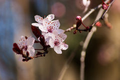 Cherry Blossom Royalty-vrije Stock Fotografie